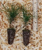 Red Pine Seedlings - Single Plants