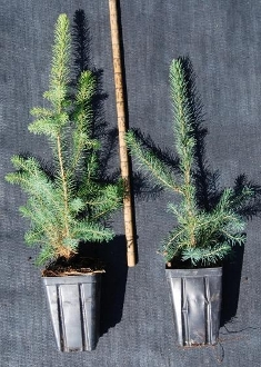 Serbian Spruce - Single Plants