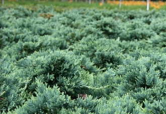 Juniper Blue Rug 'Wiltoni' - Single Plants