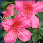 Azalea RED FORMOSA -- (RED) - Single Liner Plants
