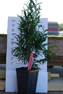 American Pyramidal Arborvitae - Single Plants
