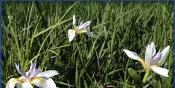 African Iris: White - Single Plants