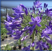 Agapanthus AFRICANS BLUE - Single Plants