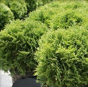 Thuja LITTLE GIANT  - Single Plants