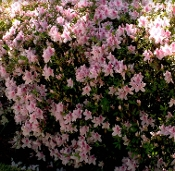 Azalea GEORGE TABOR (WHITE W/PINK THROAT) - Single Liner Plants