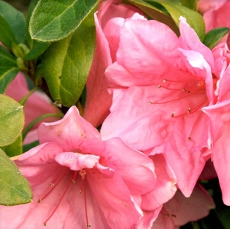 Azalea PINK RUFFLE -- (PINK) - Single Liner Plants