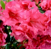 Azalea RED RUFFLE -- (RED) - Single Liner Plants