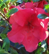 Azalea RED SLIPPERS -- (RED) - Single Liner Plants