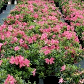 Azalea SOUTHERN CHARM -- (PINK) - Single Liner Plants