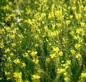 Bulbine Yellow - Single Plants