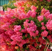 Crape Myrtle TONTO --- (FUSCHIA) - Single Plants