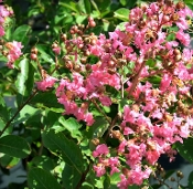 Crape Myrtle HOPI -- (ROSE) - Single Plants