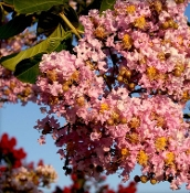 Crape Myrtle MUSKOGEE -- (LAVENDER) - Single Plants