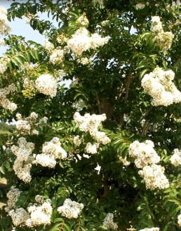 Crape Myrtle NATCHEZ -- (WHITE) - Single Plants