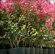 Crape Myrtle TUSCARORA (DARK PINK) - Single Plants