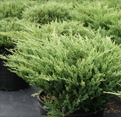 Andorra Juniper - Single Plants