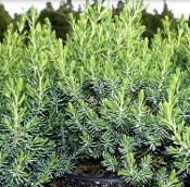Blue Pacific Juniper - Single Plants