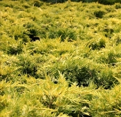 Juniperus Gold Lace - Single Plants