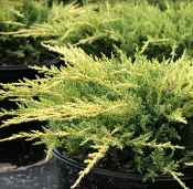 JUNIPERUS ch. 'Gold Star' - Single Plants