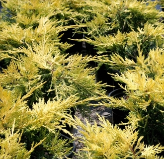 Saybrook Gold Juniper - Single Plants
