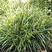 Carex mo. Ice Dance - Single Plants