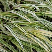 Hakonechloa m. Aureola Ornamental Grass - Single Plants