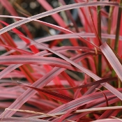 Pennisetum xadvena Fireworks - Single Plants