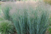 Ornamental Grass of the Month Club: 12 Month Membership