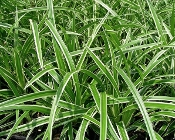 Carex morrowii 'Ice Dance' - Single Plants