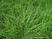 Carex oshmensis 'Evergold' - Single Plants