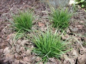 Carex Pensylvanica - Single Plants