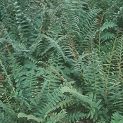 Christmas Fern - Single Plants
