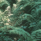 Hay Scented Fern - Single Plants