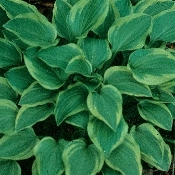 Hosta 'Golden Tiara' - Single Plants