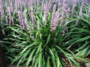 Liriope m. 'Ingwersen' - Single Plants