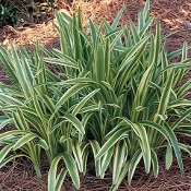 Liriope m. 'Variegata' - Single Plants