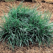 Ophiopogon japonicus - Single Plants