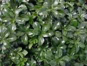 Pachysandra terminalis 'Green Sheen' - Single Plants