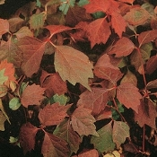Parthenocissus tricuspidata (Boston Ivy) - Single Plants