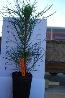 Red Pine - Single Plants
