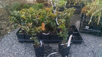 ILEX X RUTZAN 'RED BEAUTY' - Single Plants