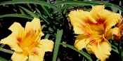 Black Eyed Stella Daylily - Single Plants