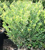 ILEX crenata 'Compacta' - Single Plants