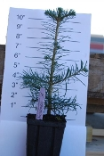 Abies concolor 'White Fir' - Single Plants