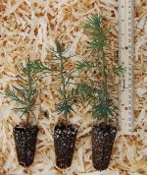 Abies concolor 'White Fir' Seedlings - Single Plants