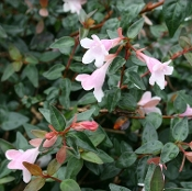 Abelia x Edward Goucher - Single Plants