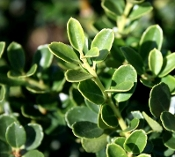Ilex crenata 'Helleri' - Single Plants