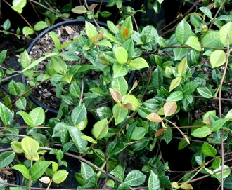 Jasmine Minima (asiatic) - Single Plants