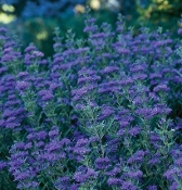 CARYOPTERIS X 'FIRST CHOICE' - Single Plants