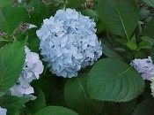 HYDRANGEA mac. 'Nikko Blue' - Single Plants